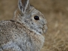 Mountain Cottontail Rabbit, Yellowstone NP, WY