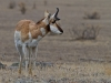 Pronghorn, Yellowstone NP, WY