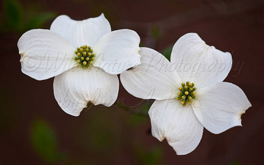 Dogwood Blossoms, Chatham County, NC