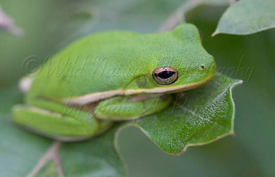 Green Tree Frog, Orange County, NC